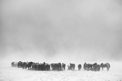 Travel Photography Iceland Horses Snow Aaron Hogan
