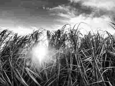 Sugar Cane Photography White Castle Louisiana22