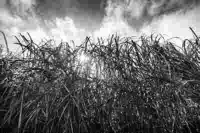 Sugar Cane Photography White Castle Louisiana32