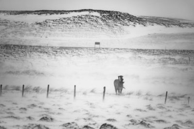 Travel Photography Icelandic Horses Snow Aaron Hogan1