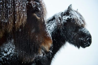 Travel Photography Icelandic Horses Snow Aaron Hogan2